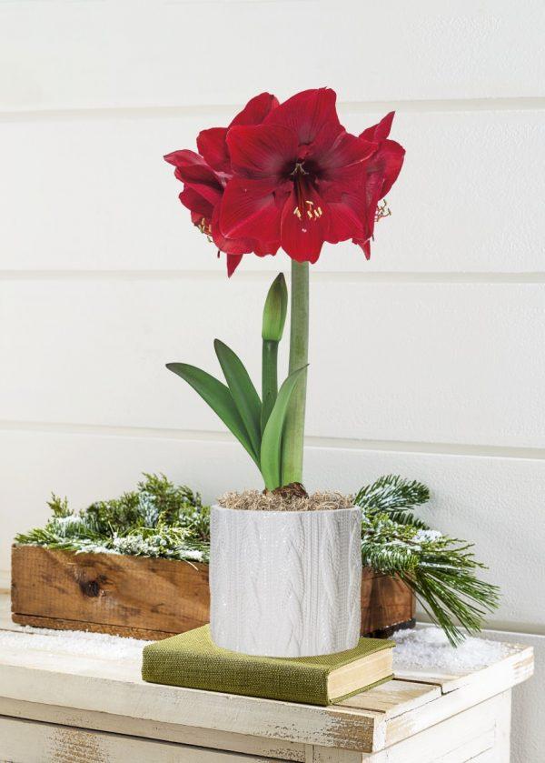 Giving Amaryllis Bulbs for the Holiday Season - National Garden Bureau