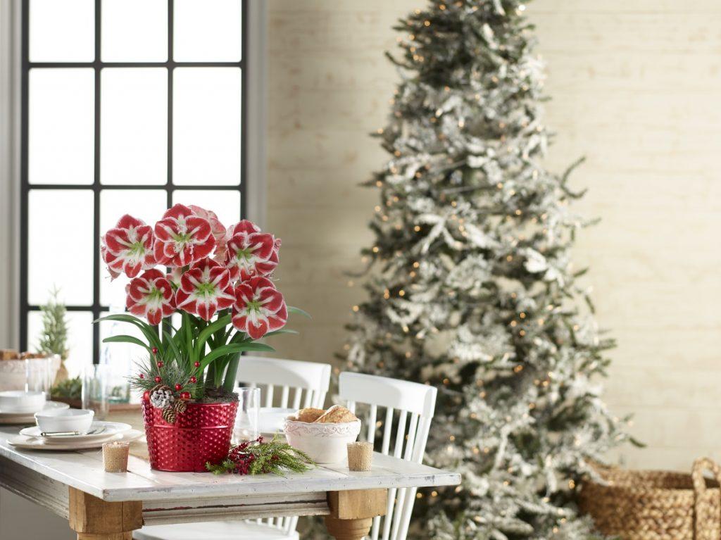 Amaryllis the perfect Holiday Gift - National Garden Bureau