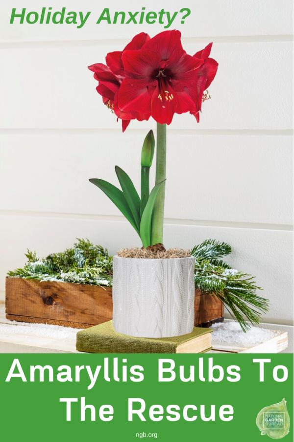Amaryllis Bulbs - the ideal holiday gift!