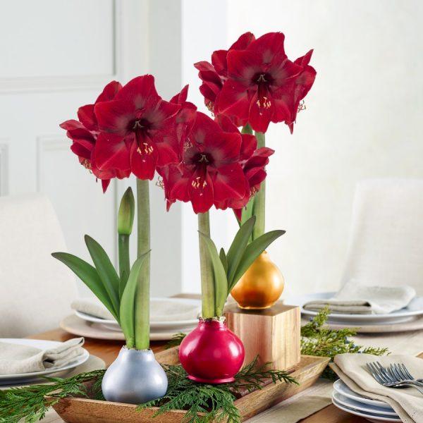 Amaryllis Waxed Bulbs - National Garden Bureau