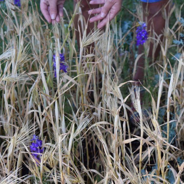Barley with Larkspur - Gardening with Grains - National Garden Bureau