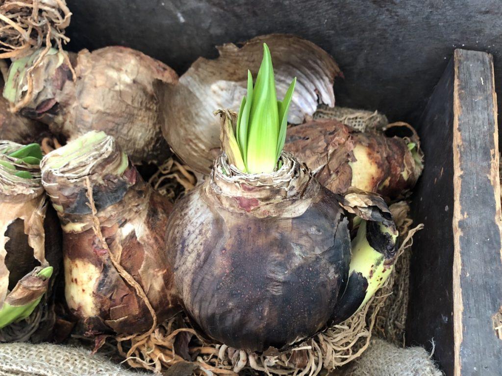 Amaryllis Bulbs for Gifts - National Garden Bureau