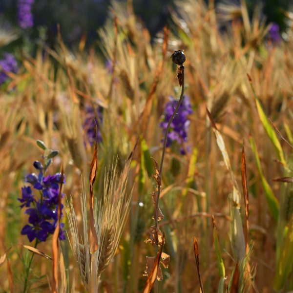 Grow Your Own Barley - National Garden Bureau