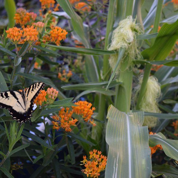 Growing Corn in Your Garden - Gardening with Grains - National Garden Bureau