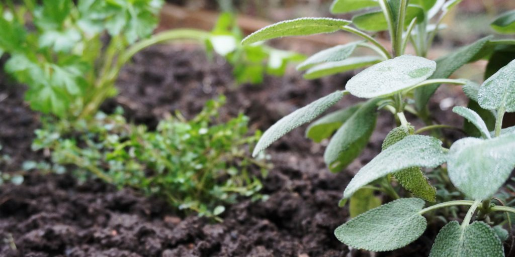 Sage, Thyme and Parsley in the Garden for your Thanksgiving Dinner - National Garden Bureau