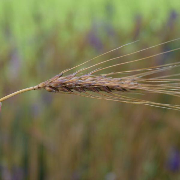Grow Your Own Wheat in Your Garden - National Garden Bureau