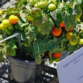 Tomato Sweet N Neat is a beautiful compact vegetable grown from Seed - Compact Vegetable Seeds to Grow - National Garden Bureau