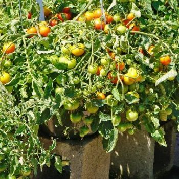 Tomato Cherry Fountain is a beautiful compact tomato that can be grown in a hanging basket - National Garden Bureau
