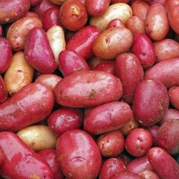 Potato Clancy is grown from a seed and can be grown in containers or ground - Compact Vegetable Seeds to Grow - National Garden Bureau