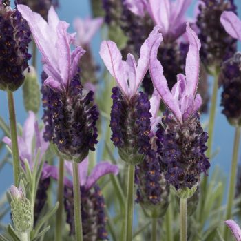 New Madrid Purple by Green Fuse - Year of the Lavender - National Garden Bureau