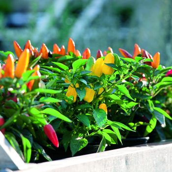 Compact Vegetable Pretty n Sweet Pepper an AAS Winner that is perfect for containers - National Garden Bureau