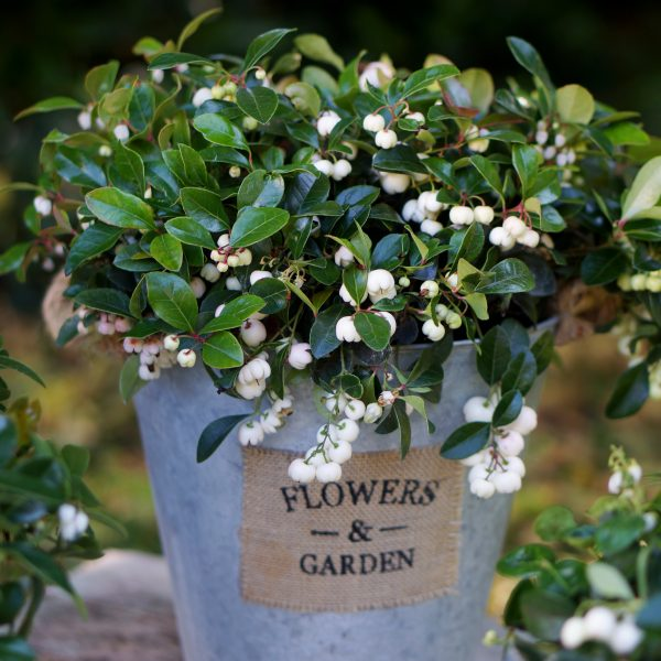 Gaultheria procumbens Peppermint Pearls - Unique Plant for the Holidays - National Garden Bureau