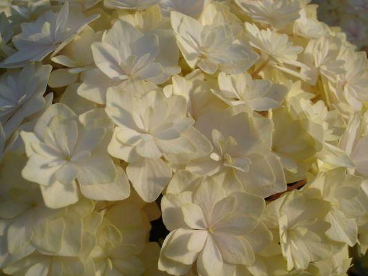 Hydrangea macrophylla Peace - Unique Plant for the Holidays - National Garden Bureau