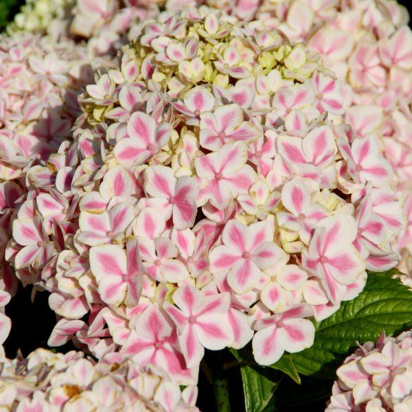 Hydrangea macrophylla Peppermint - Unique Holiday Plant - National Garden Bureau