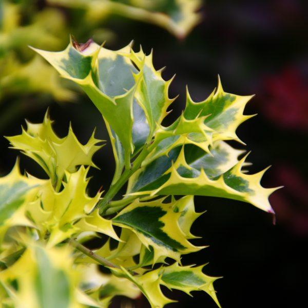 Ilex aquifolium Golden DJ - Unique Plant for the Holidays - National Garden Bureau