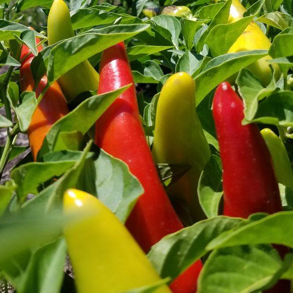 Compact Compact Vegetable Alter Ego Pepper is great for Compact gardens - Compact Vegetable Seeds to Grow - National Garden Bureau