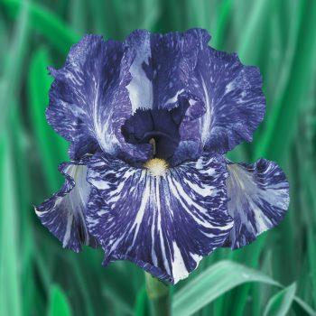 Iris Bearded Batik by Brecks - Year of the Iris - National Garden Bureau