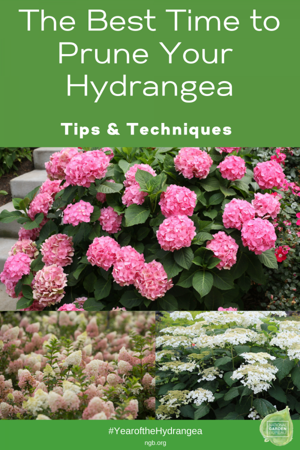 The Best Time To Prune Your Hydrangea - National Garden Bureau