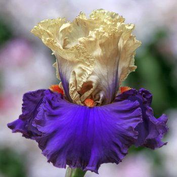 Iris Bearded Air of Mystery by Brecks - Year of the Iris - National Garden Bureau