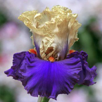 Iris Bearded Air of Mystery by Brecks - Year of the Iris - National Garden Bureau