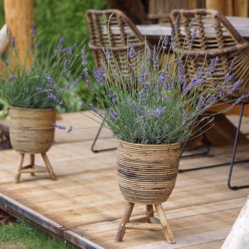 Lavender Phenomenal from Peace Tree Farms - Year of the Lavender - National Garden Bureau