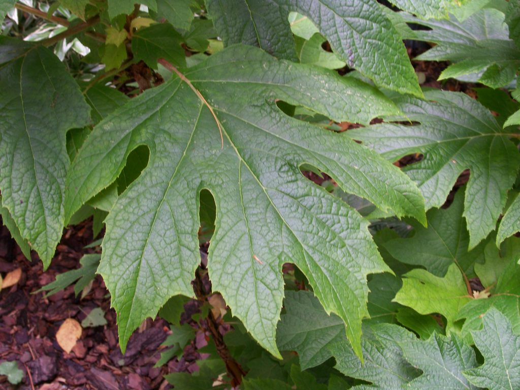 If your foliage looks like an Oak tree leaf, your hydrangea is an Oak Leaf Hydrangea - When to prune your Hydrangeas