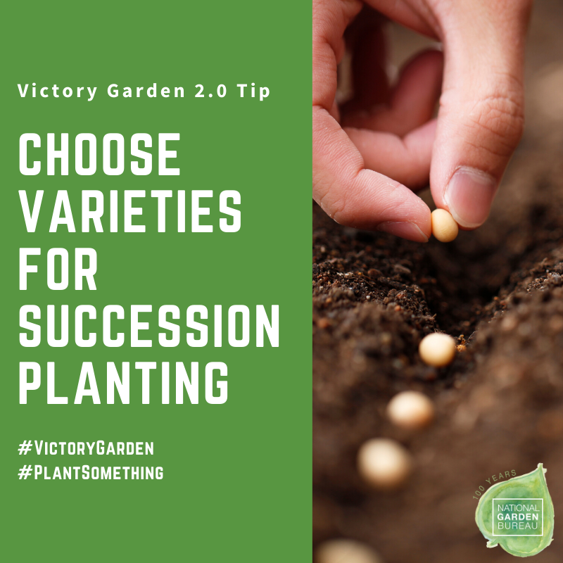 Increase production by succession planting in your Victory Garden - National Garden Bureau