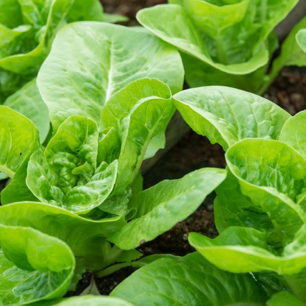 Grow your own lettuce in your Victory Garden 2.0 - National Garden Bureau
