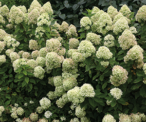 Little Lime Hydrangea - Jung Seed Co