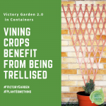 When growing vining crops in containers be sure to use a trellis - Victory Garden 2.0 container gardening tips - National Garden Bureau