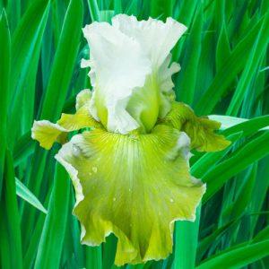 Going Green Iris - Breck's
