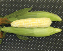 New Catalyst XR Sweet Corn - Jung Seed Company