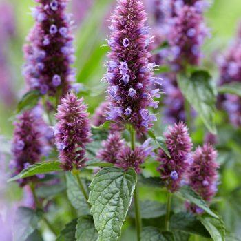 Agastache Beelicious Purple in the Garden