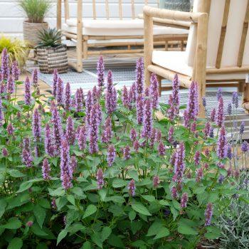 Agastache Beelicious Purple in the Garden - National Garden Bureau