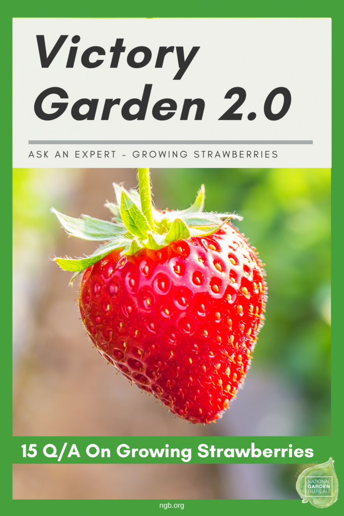 15 questions answered about growing strawberries in your Victory Garden 2.0 - National Garden Bureau - Ask An Expert: Growing Strawberries - National Garden Bureau