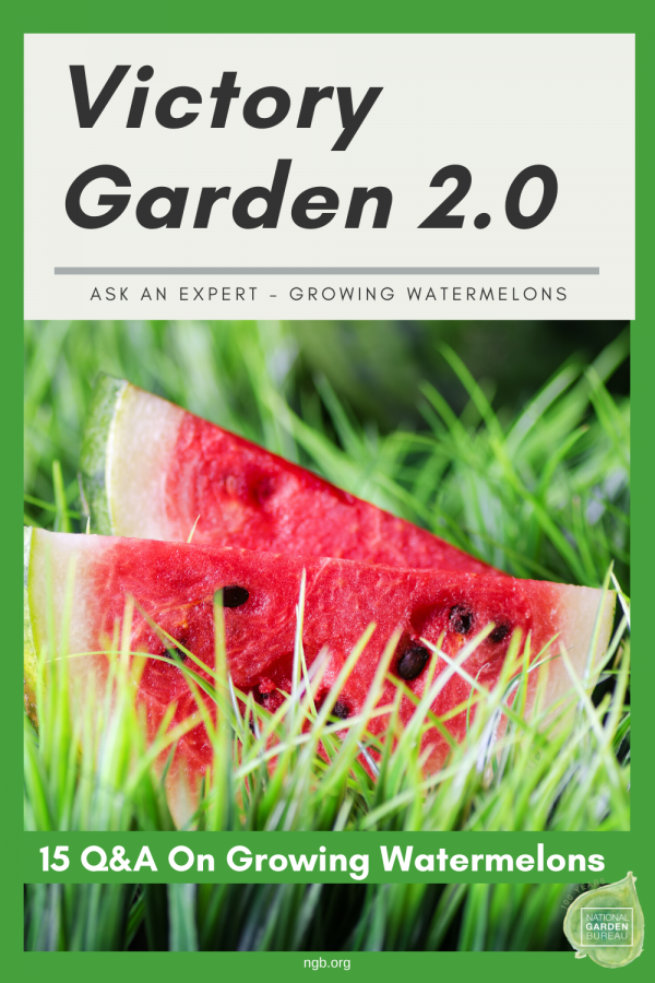 15 questions answered about growing watermelon in your Victory Garden 2.0 - National Garden Bureau