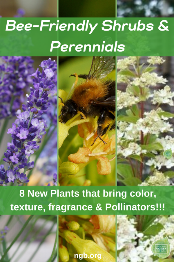 Bee-friendly shrubs and perennials that are sturdy, versatile, long-lasting, and stunning, pollinators will love the for sun and part-shade. - National Garden Bureau