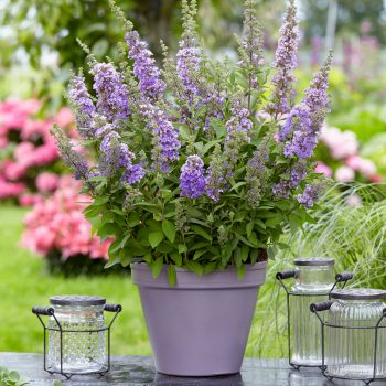 Buddleja High Five Purple works well in a bee-friendly pollinator garden - National Garden Bureau