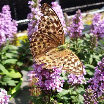 Buddleja High Five Purple works well in a bee and butterfly friendly pollinator garden - National Garden Bureau