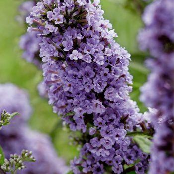 Buddleja High Five Purple flowers are excellent for a bee-friendly pollinator garden - National Garden Bureau