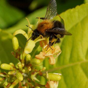 Diervilla rivularis Honeybee fills with bees for a pollinator garden - National Garden Bureau