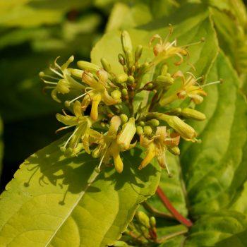 Diervilla rivularis Honeybee flowers are excellent for aBee-Friendly Pollinator Garden - National Garden Bureau