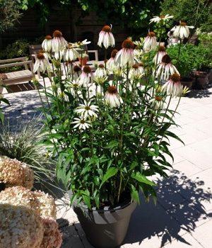 Echinacea Pretty Parasols in a container - National Garden Bureau