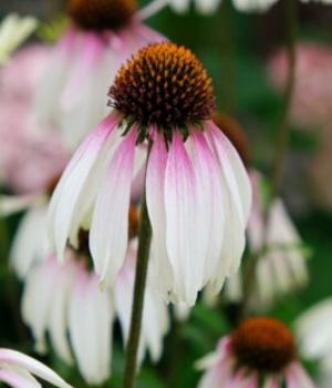 Echinacea Pretty Parasols Flower - National Garden Bureau