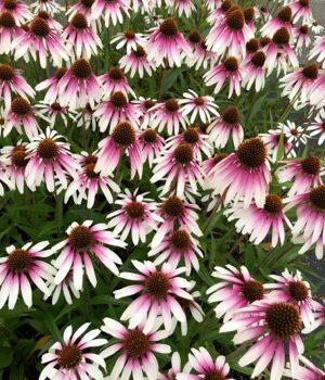 Echinacea Pretty Parasols Field of Flowers - National Garden Bureau - Great Native Plant
