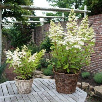 Hydrangea Confetti is a great Patio Bee-Friendly Plant - National Garden Bureau