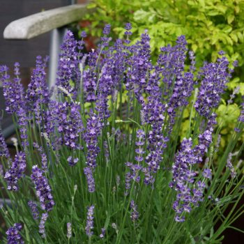 Lavendula Big Time Blue Flower in a Patio Pot - great for bee-friendly in a Pollinator Garden - National Garden Bureau