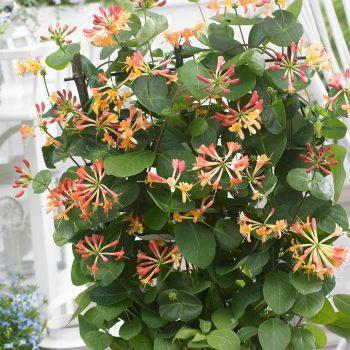 Lonicera hybrid Coral Star is a great plant for Pollinator Friendly Gardens - National Garden Bureau