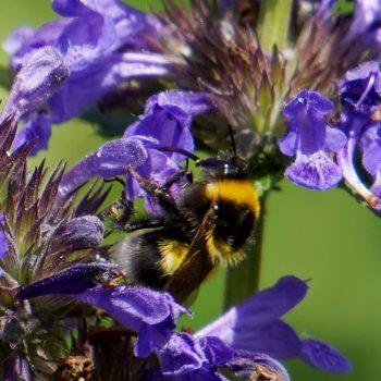 Nepeta Neptune is a Bee-Friendly Pollinator Plant - National Garden Bureau