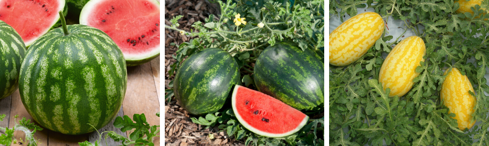 Ask An Expert: Growing Watermelons in your Victory Garden 2.0 - National Garden Bureau